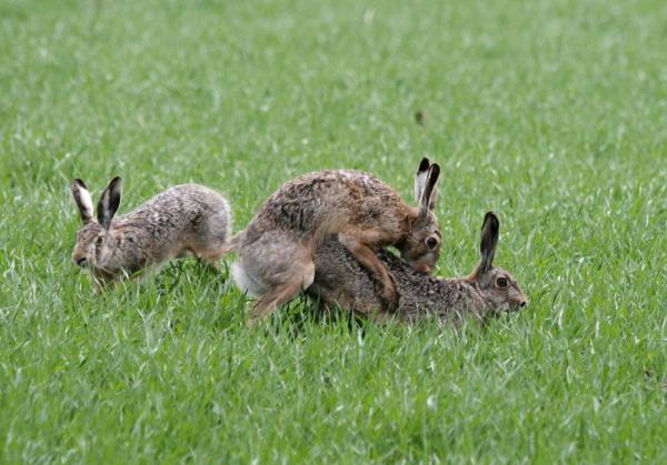 Rabbits mating  YouTube